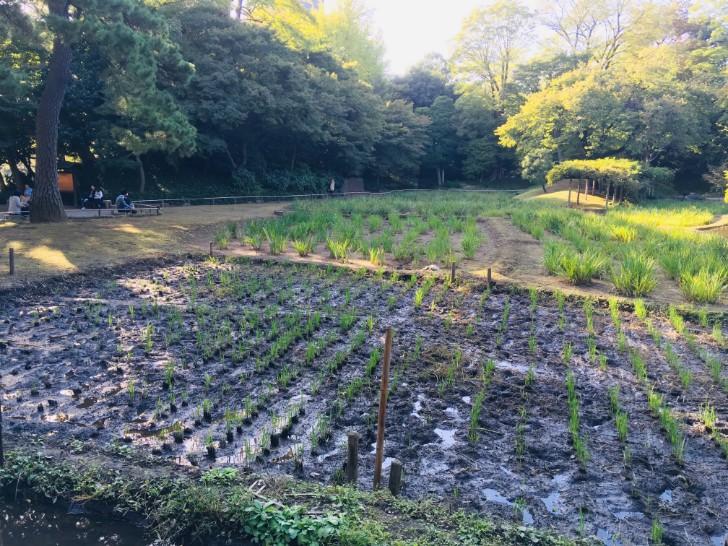小石川後楽園:稲田